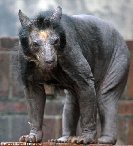 shaved-bear.jpg